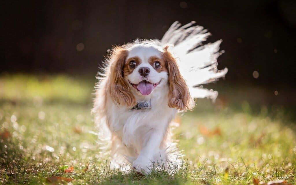 Cavalier King Charles Spaniel är en aktiv, graciös, välbalanserad dvärgspaniel
