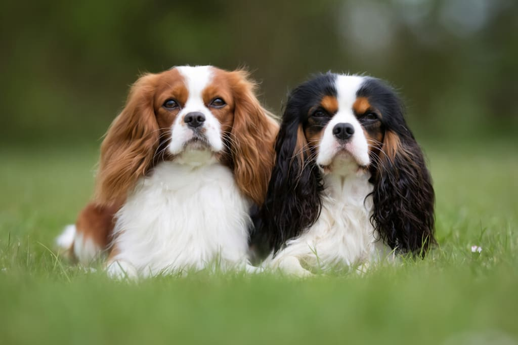 """Cavalier King Charles Spaniels """"Scouter"""""""