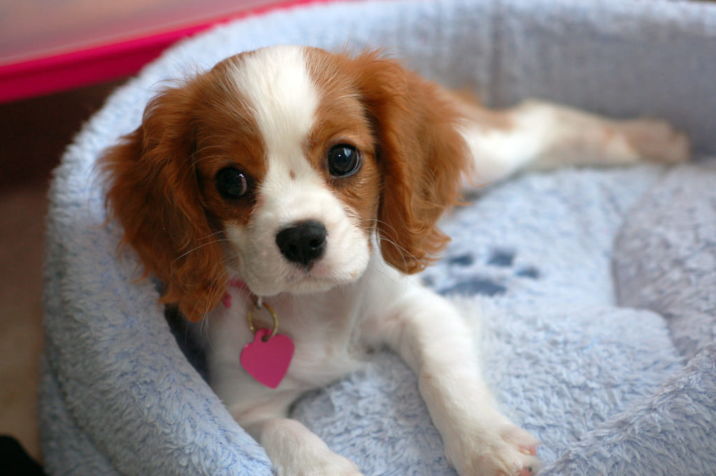 """Cavalier King Charles Spaniels """"Archie"""""""